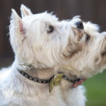 Best Treats for Westies: Top Picks for Puppies, Training, Dental & More