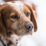 11 of the Top Brittany Spaniel Mix Breeds
