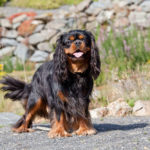 21 of the Most Popular Cavalier King Charles Spaniel Mix Breeds