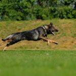 All You Need to Know About the 5 Different Types of German Shepherds