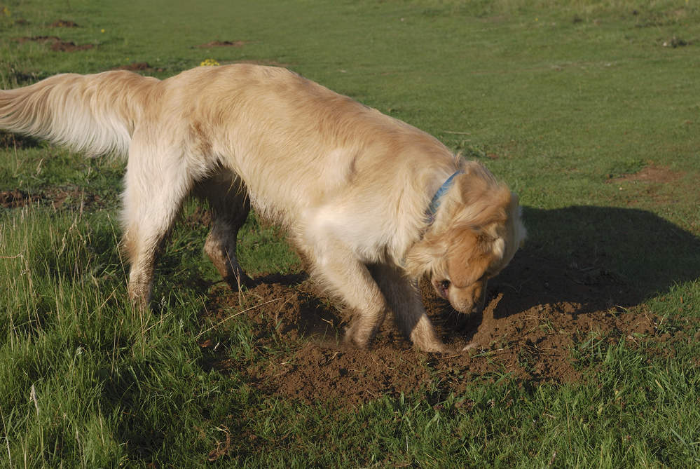 Golden Retriever digging hole in the ground