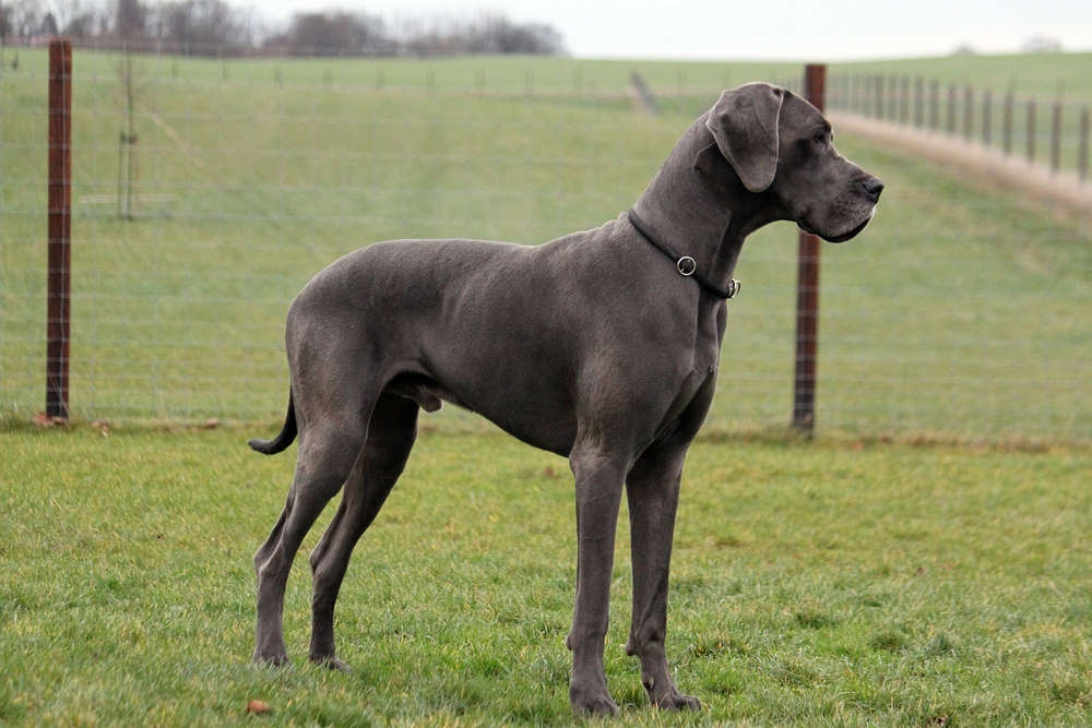 Great Dane standing in front of fence