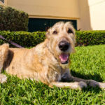 15 Fascinating Irish Wolfhound Mix Breeds