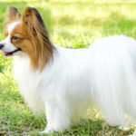 35 Most Popular Papillon Mix Breeds