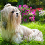 19 Small Calm Dog Breeds You Will Love