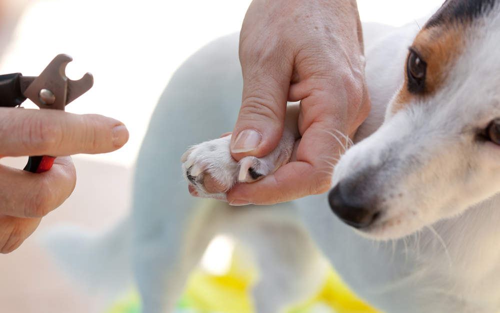 Small dog getting overgrown nails trimmed