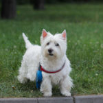 Can Westies Go Off Leash?