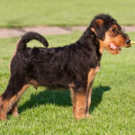9 of the Top Airedale Terrier Mix Breeds