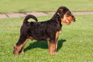 Young Airedale Terrier