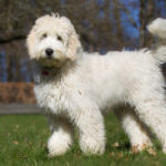 62 of the Cutest Large and Small Poodle Mix Breeds