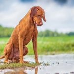 Vizsla looking in puddle at the park