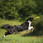 Border Collie jumping for frisbee