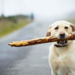 Dog playing with stick