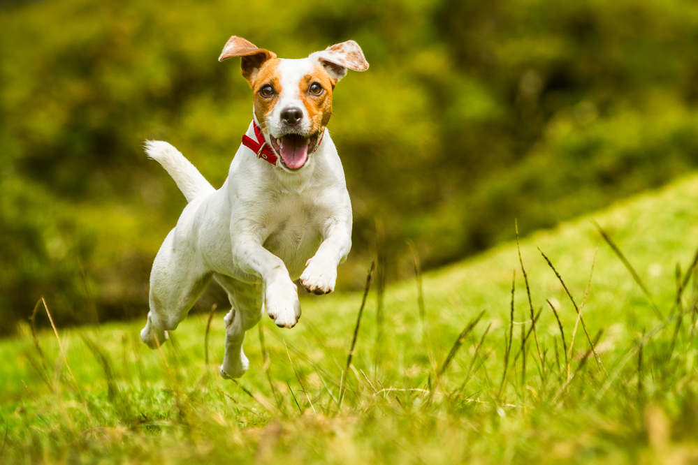 Jack Russell Terrier jumping