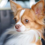 Best Dogs for Anxiety: 24 Comforting Breeds to Help People with Anxiety