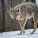 Can a Coyote Kill a Large Dog?