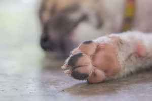 Pink and black dog paw