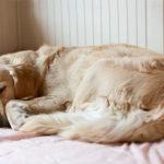 Why Does My Golden Retriever Sleep So Much?