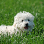 Why Does My Maltese Keep Coughing?