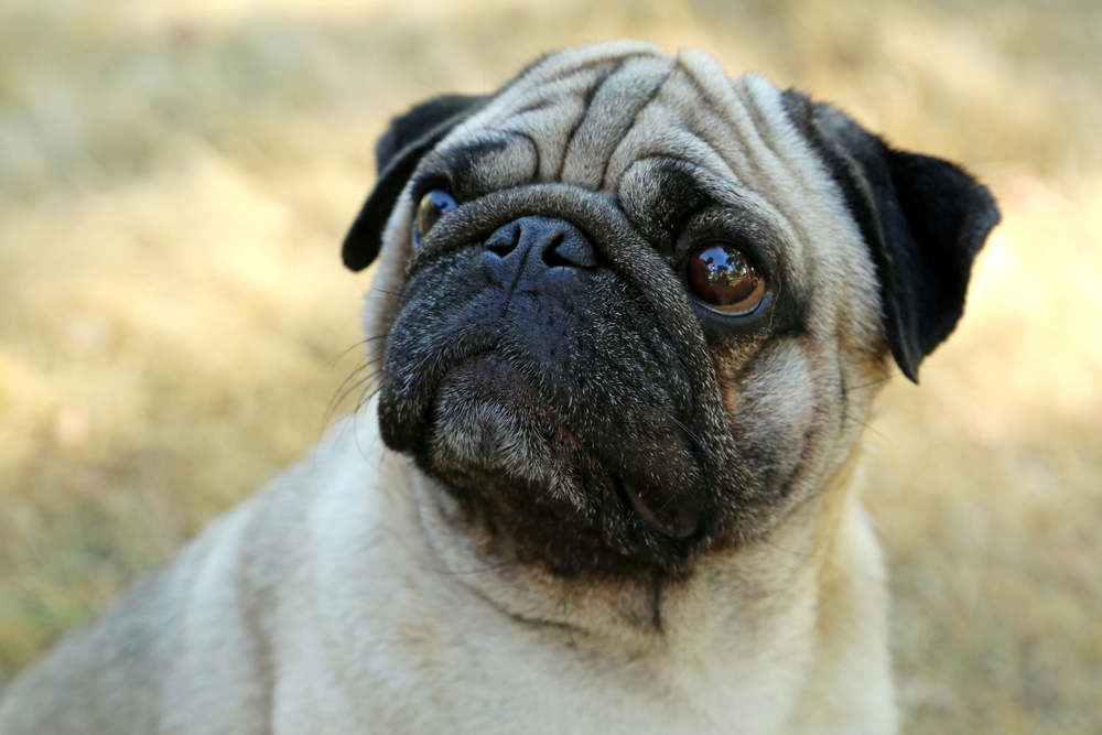 Pug deep in thought
