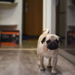 Are Pugs Good Apartment Dogs?