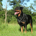 How to Stop Your Rottweiler From Shedding So Much
