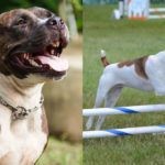 Pitbull and Rat Terrier side by side