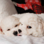 Bichon Frise sneakily licking blanket
