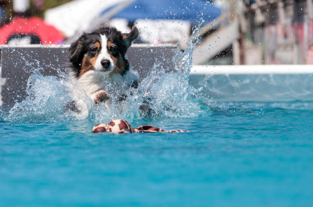 Border Collie swimming in pool with toy