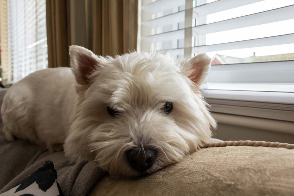 Westie on back of couch